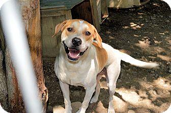 American Bulldog Mix Dog for adoption in Hillsboro, Ohio - Maestro