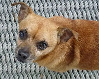 Chihuahua Mix Dog for adoption in Spring Lake, New Jersey - Bently