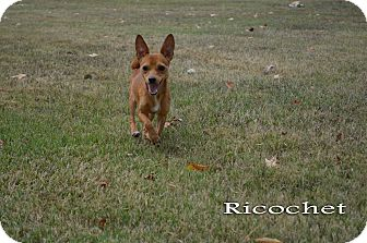 Terrier (Unknown Type, Small)/Chihuahua Mix Dog for adoption in Texarkana, Arkansas - Ricochet