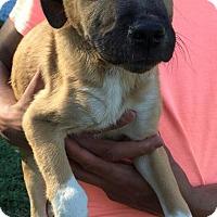 Adopt A Pet :: Ceasar - Ocala, FL