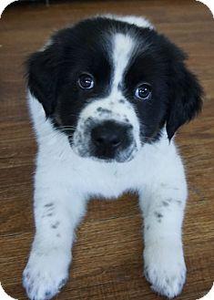 Border Collie/German Shepherd Dog Mix Puppy for adoption in Dayton, Ohio - Kurt