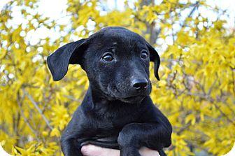 Hound (Unknown Type)/Terrier (Unknown Type, Medium) Mix Puppy for adoption in Pittsburgh, Pennsylvania - Ella