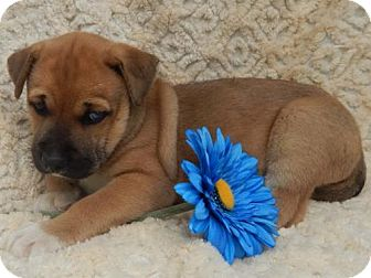 Husky/Boxer Mix Puppy for adoption in Old Fort, North Carolina - Zeus