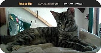 American Shorthair Kitten for adoption in Horseshoe Bay, Texas - Princess