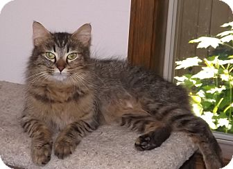 Siamese Cat for adoption in Salem, Oregon - Kalina