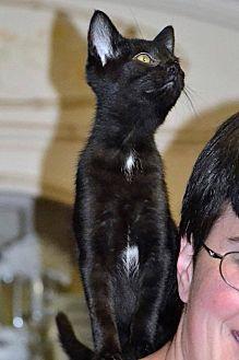 American Shorthair Kitten for adoption in Albemarle, North Carolina - Ruth