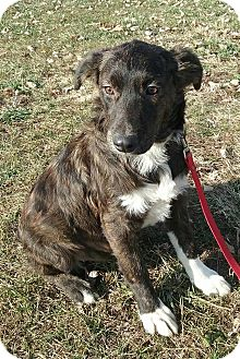 Australian Shepherd Mix Puppy for adoption in Macomb, Illinois - Francie