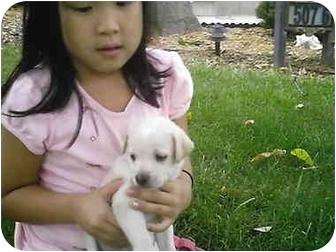 Golden Retriever/Labrador Retriever Mix Puppy for adoption in all of, Connecticut - Teddy-PENDING