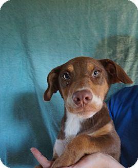 Doberman Pinscher/Labrador Retriever Mix Puppy for adoption in Oviedo, Florida - Lindi