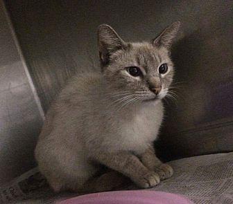 Siamese Cat for adoption in San Bernardino, California - Katie
