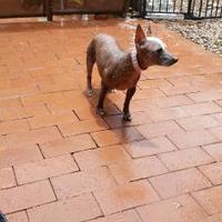 Adopt A Pet :: Pima - Tucson, AZ