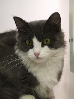 Domestic Shorthair/Domestic Shorthair Mix Cat for adoption in Cumming, Georgia - Sybil 309-17
