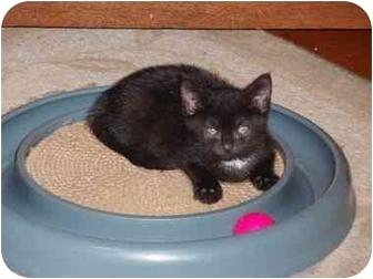 Domestic Shorthair Kitten for adoption in Radford, Virginia - Lynn
