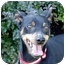 Photo 2 - Miniature Pinscher Dog for adoption in Brockton, Massachusetts - Jett