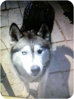 Husky Mix Dog for adoption in Sterling Hgts, Michigan - Smokey