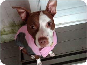 American Pit Bull Terrier Mix Dog for adoption in Dennis, Massachusetts - BELLA