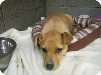 Labrador Retriever Mix Puppy for adoption in Henderson, North Carolina - Cutie