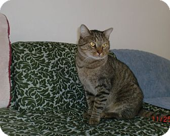 Domestic Shorthair Cat for adoption in San Luis Obispo, California - Ernest