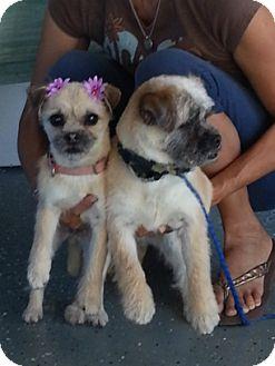 Norfolk Terrier Mix Dog for adoption in Vista, California - Poppy & Tater Tot