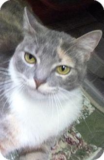 Calico Cat for adoption in St. Petersburg, Florida - Cali