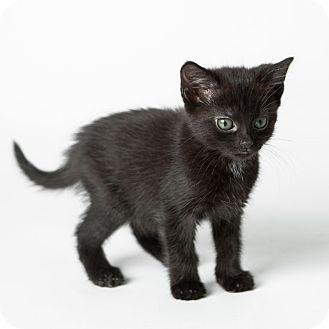 Domestic Shorthair Kitten for adoption in Rockaway, New Jersey - Satin