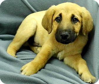 Labrador Retriever/Border Collie Mix Puppy for adoption in Washington Court House, Ohio - Duke
