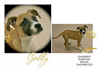 Boxer Mix Puppy for adoption in Lufkin, Texas - Gabby