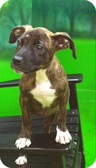 Boxer/Labrador Retriever Mix Puppy for adoption in CHICAGO, Illinois - SALLY