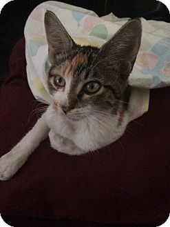 Calico Kitten for adoption in Ravenna, Texas - Edna