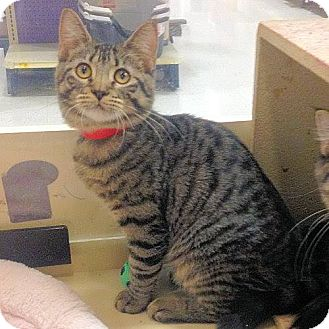 Domestic Shorthair Cat for adoption in Weatherford, Texas - Baby