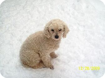 Poodle (Miniature) Dog for adoption in Buffalo, New York - Mindy