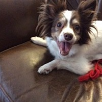Papillon Dog for adoption in Jacksonville, Florida - Dixie Lee