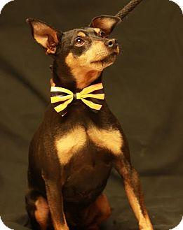 Miniature Pinscher Mix Dog for adoption in Twin Falls, Idaho - Smoky