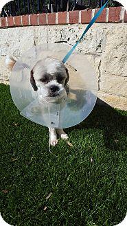 Shih Tzu Mix Dog for adoption in New York, New York - Melvin