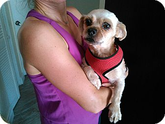 Shih Tzu Dog for adoption in Naples, Florida - Julie