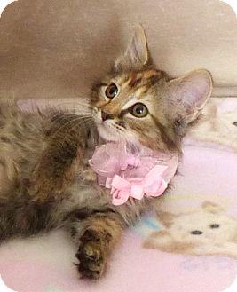 Domestic Longhair Kitten for adoption in Kerrville, Texas - Rapunzel
