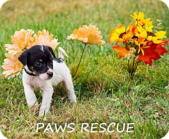 Collie Mix Puppy for adoption in Forest Hill, Maryland - Stinky