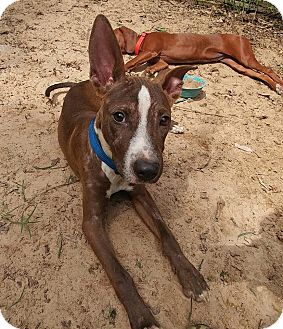 Basenji/Bull Terrier Mix Puppy for adoption in West Warwick, Rhode Island - Pacey