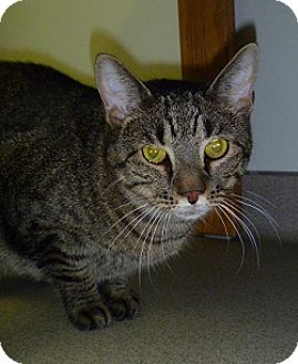 Domestic Shorthair Cat for adoption in Hamburg, New York - Leo