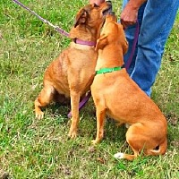 Labrador Retriever Mix Dog for adoption in Huntington, New York - Lana & Lisa - Bonded Pair - N