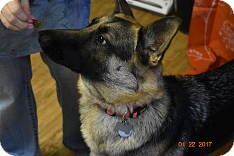 German Shepherd Dog Puppy for adoption in Seattle, Washington - Luna