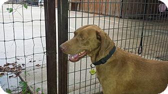 Vizsla/Retriever (Unknown Type) Mix Dog for adoption in FORT WORTH, Texas - TONY