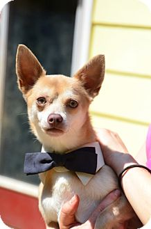 Chihuahua Mix Dog for adoption in Chester, Connecticut - Arthur