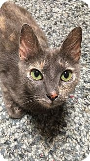 Domestic Shorthair Cat for adoption in Houston, Texas - Chloe