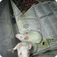 Adopt A Pet :: 2 BABY BOY RATS FROM DEPTFORD! - Philadelphia, PA