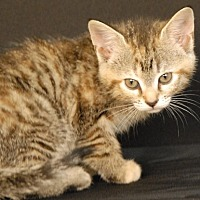Domestic Shorthair Kitten for adoption in Newland, North Carolina - Holly Blue
