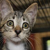 Adopt A Pet :: Nod - Sarasota, FL