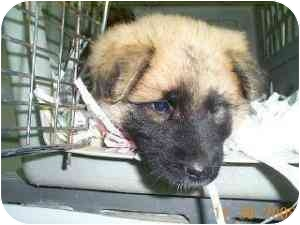 Chow Chow/Shepherd (Unknown Type) Mix Puppy for adoption in Elwood, Illinois - Trina