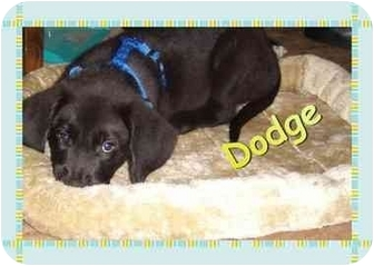 St. Bernard/Labradoodle Mix Puppy for adoption in LaCrosse, Wisconsin - Dodge