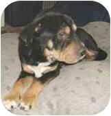 Shar Pei/Australian Shepherd Mix Dog for adoption in Sacramento, California - Sammie - adpt pend!
